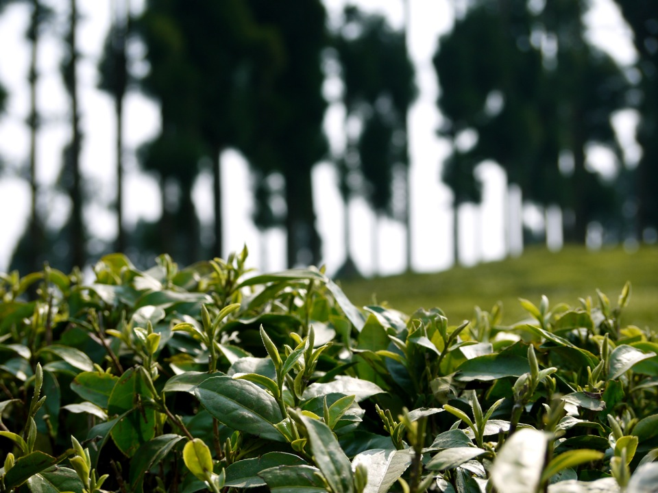 Leaves & trees. Gopaldhara Tea Plantation, Darjeeling.