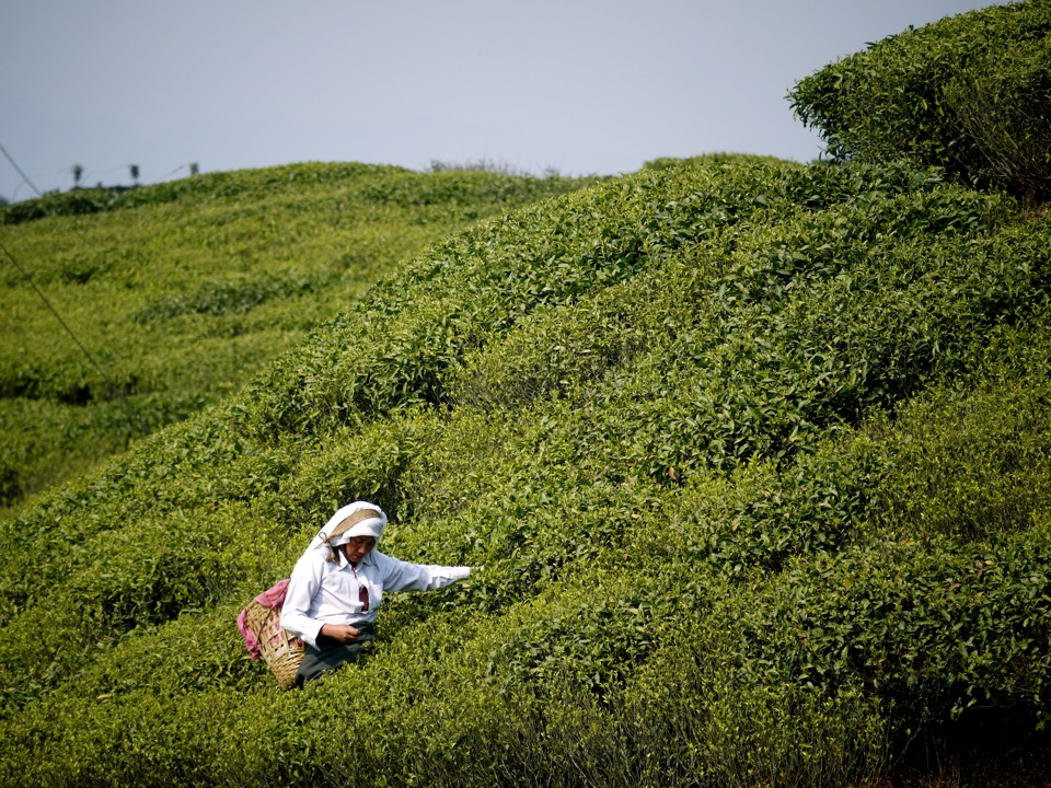 Plucking. Gopaldhara Tea Plantation, Darjeeling.